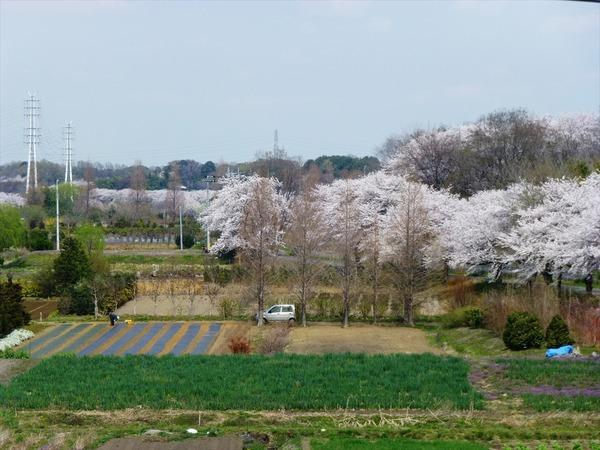 桜三昧 時速15kmの旅